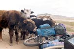 Baby yaks licking backpack!